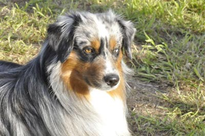 Miniature Australian Shepards For Sale